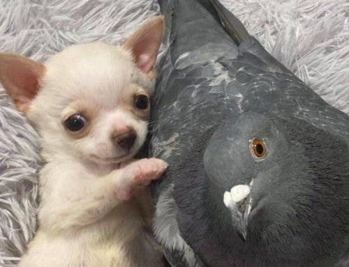 Röpképtelen galamb lett a mozgássérült kiskutya barátja a menhelyen